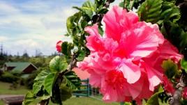 12- Norfolk, ogromne hibiskusy