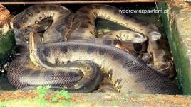 08- gigantyczna anakonda w ZOO