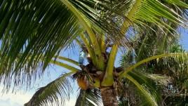 12, Funafuti, woda nawet z palmy