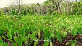22- Niue, plantacje jamu