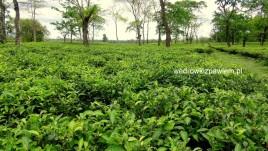 02- Indie pola herbaciane