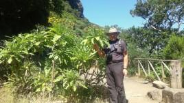 15- reliktowy las laurowy z 2 m. mleczami