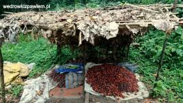 Kamerun, Pigmeje, suszarnia-owocow-palmowy-olejowej