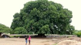 angola, drzewo mulembeira
