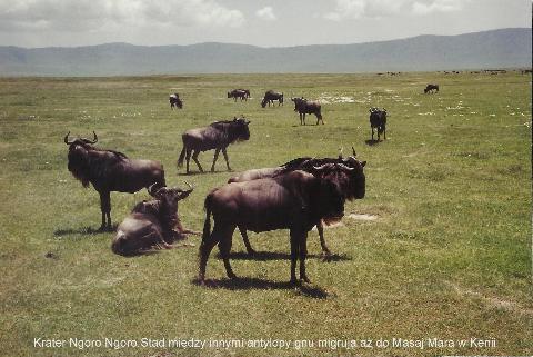 Krater Ngoro Ngoro, Stad miedzy innymi antylopy gnu, migruja az do Masaj Mara, w Kenii,