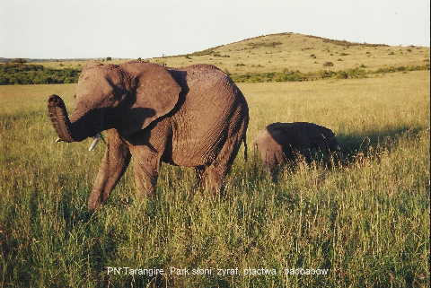 PN Tarangire. Park sloni, zyraf, ptactwa, i baobabow,