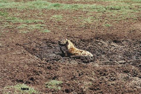 hiena,Afryka, wielki row afrykanski, ngoro ngoro, antylopy,gnu, wycieczka , tania, prelekcje, spotkania, podroznicze,