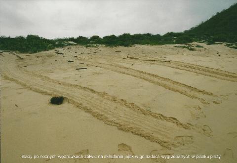 slady po nocnych wedrowkach zolwic, na skladanie jajek ,w gniazdach ,wygrzebanych, w piasku plazy,