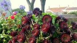 02, Alderney, kwiaty