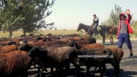 08- Kirgistan, stada na drodze Osz- Biszkek
