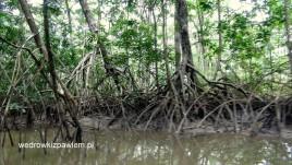 19- mangrowce nad Warrapa Kreek