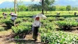 01- indyjskie pola herbaciane