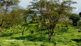 07- Darżyling, pola herbaciane