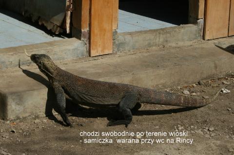 Komodo, Rinca, warany z komodo, lombok,wulkany, Bali, swiatynie ,kecak, tatr cieni,filmy, z podrózy,prelekcje,
