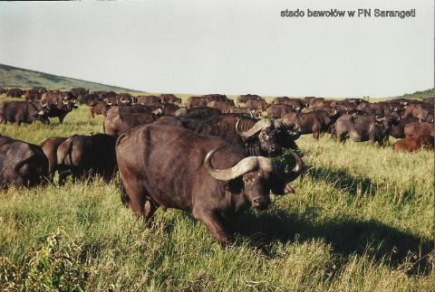 stado bawolow w PN Sarangeti,Afryka,zoo,zwierzeta, Masaj mara, sarangeti,bawoly, krokodyle,gnu,