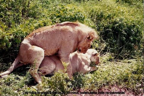 Lwy robiato przez 6 dni co 20-30 minut, potem lwica idzie na polowanie,Afryka,zoo,zwierzeta, Masaj mara, sarangeti,bawoly, krokodyle,gnu,