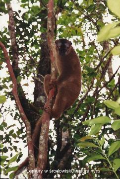 Lemury w srodowisku naturalnym,