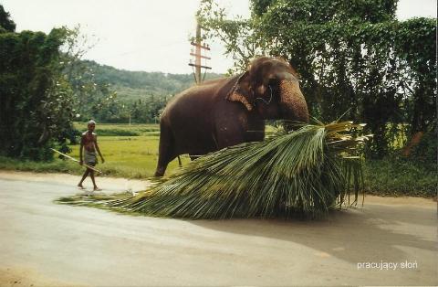 pracuja…cy slon,ocean indyjski,herbaty,plantacje, Kolombo, lodzki podroznik,Pawel Krzyk,