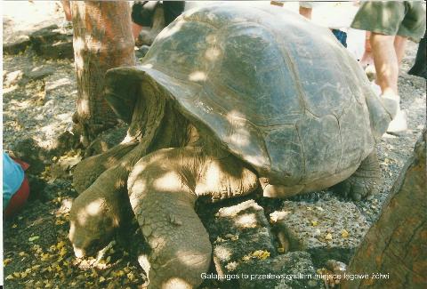 Galapagos, to przede wszystkim, miejsce legowe zolwi,
