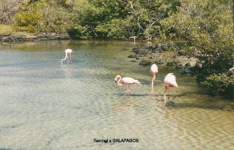 flamingi, z GALAPAGOS,